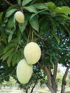 DSCN2494_silk_island_mango